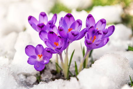 the first crocuses sprout from the snow