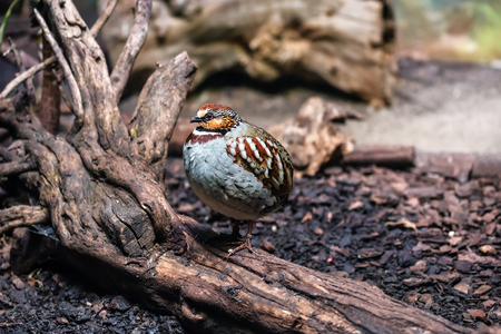 live and cute White-necklaced Partridge bird