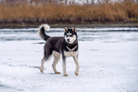 Siberian Husky dog black and white colour with blue eyes in winter Stock Photo