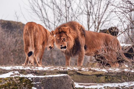 angry couple of wild lions clarify the relationship