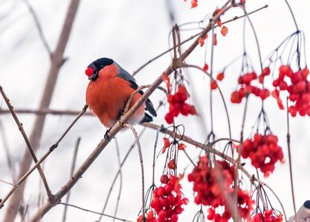 red bullfinch on the red ripe viburnum Фото со стока