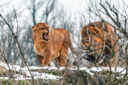 couple of live real lions