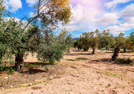 olive trees in the garden under blue sky on cyprus