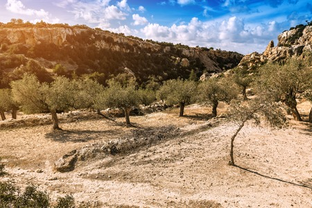 olive trees in the garden on cyprus