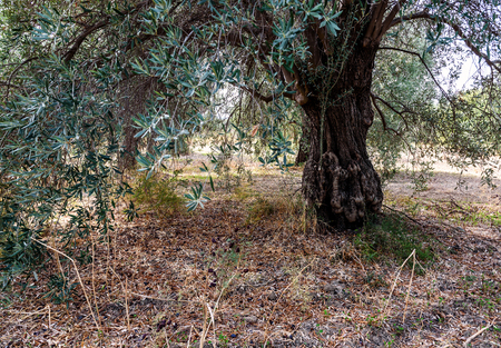 old and lush olive tree in the garden