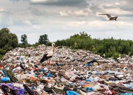 live stork and gulls on the landfill (garbage dump) Imagens