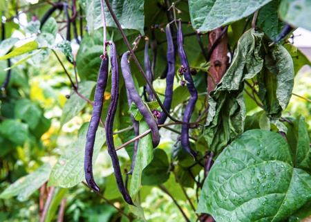 purple string beans in the garden