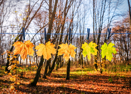 autumn maple leaves on blue rope hanging with clothespins