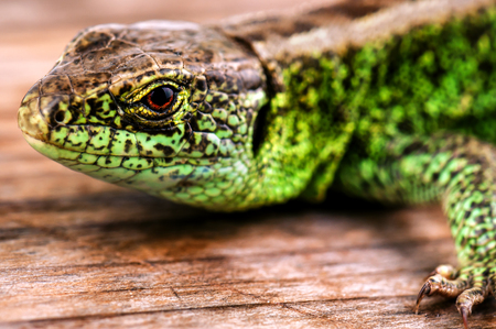 live green common lizard on wooden background