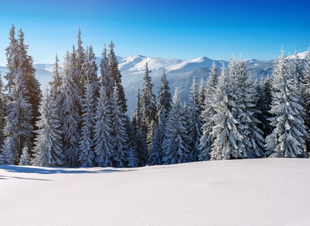 snow-covered firs in the winter mountains