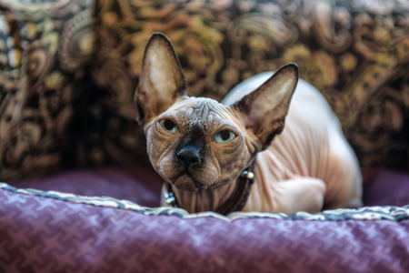 portrait of cute sphinx cat in his bed