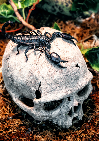 black royal scorpion on the human scull
