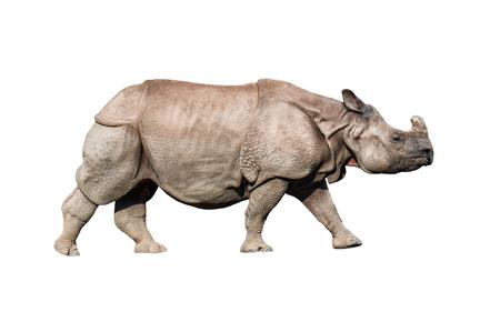 live rhinoceros isolated on white