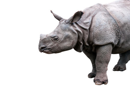mature rhinoceros isolated on white 版權商用圖片 - 117904946