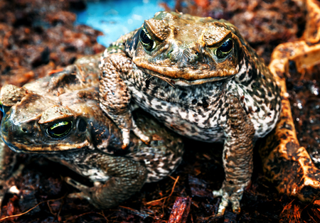portrait of cute aga frogs (toad) 스톡 콘텐츠