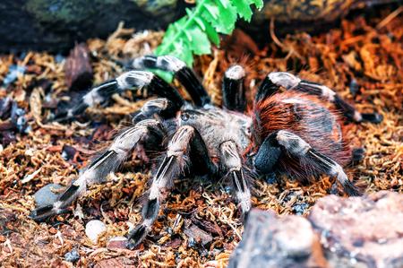 live scary white striped bird eater tarantula Stok Fotoğraf