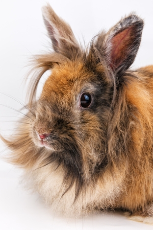 portrait of little fluffy rabbit on white background Reklamní fotografie