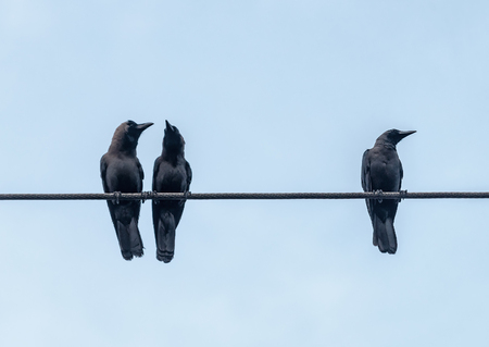 three crows on the electric cable