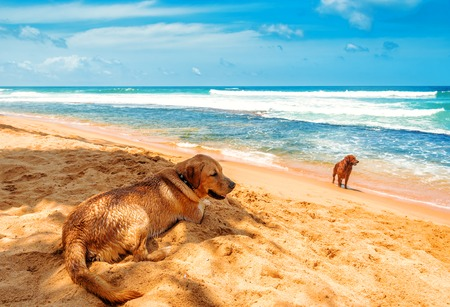 two gold retrievers on the tropical beach
