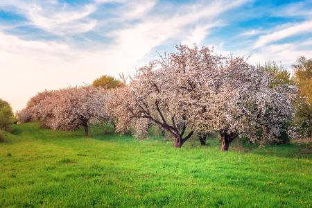 lush blossoming apple garden on sunset