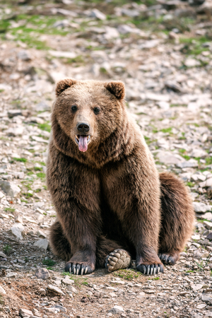 brown bear in the forest shows his tongue Stock Photo