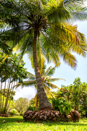 lush green coconut palm in the garden Stock Photo