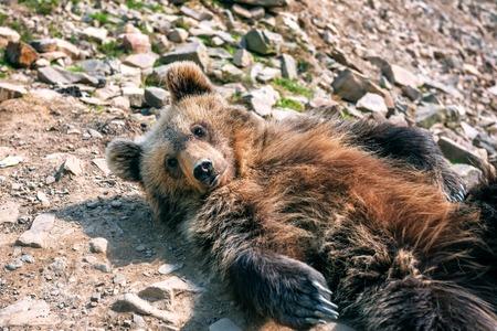 portrait of cute little bear lying on the ground