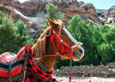 portrait of Jordanian beautiful horse Standard-Bild - 124700454