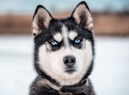 cute blue eye husky portrait in winter Banque d'images - 126378425