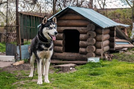 cute blue eyed husky on chain and kennel Banque d'images - 126378426