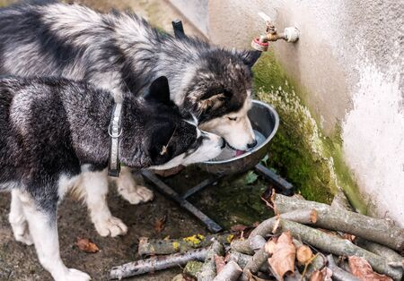 cute husky couple drink water Banque d'images - 126380049