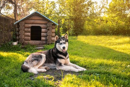 cute and smart husky is resting at the kennel Banque d'images - 126380050