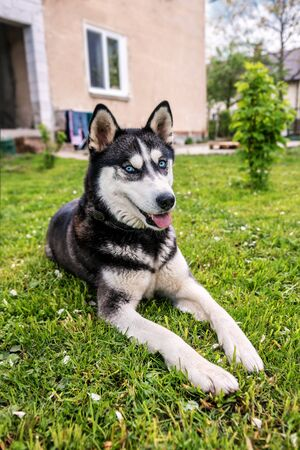 cute siberian husky is resting on green grass Banque d'images - 126380051