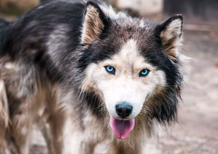 portrait of long haired cute husky Banque d'images - 126379979