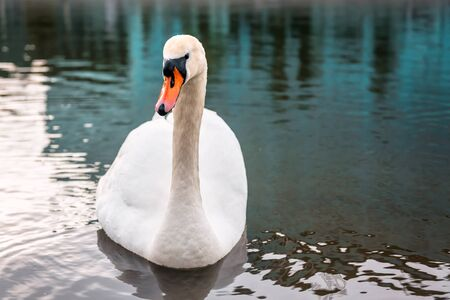portrait of white beautiful swan on the calm water Banque d'images - 126379930