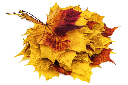 bunch of autumn maple leaves isolated on white 版權商用圖片