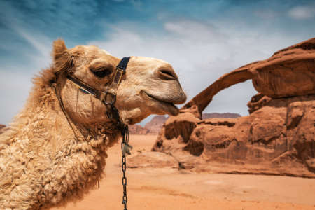 portrait of camel in Wadi Rum desert