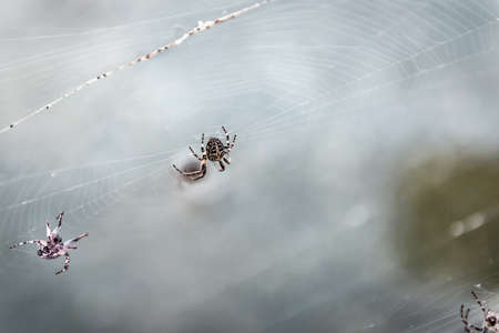 scary ugly cross spiders on a web