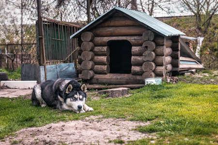cute husky is lying resting near the kennel 版權商用圖片