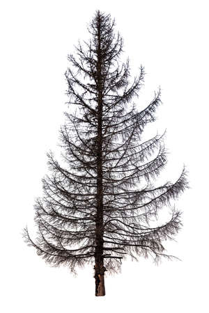 dead fir tree isolated on white