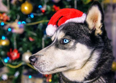 cute blue eyed husky in red santa hat 版權商用圖片
