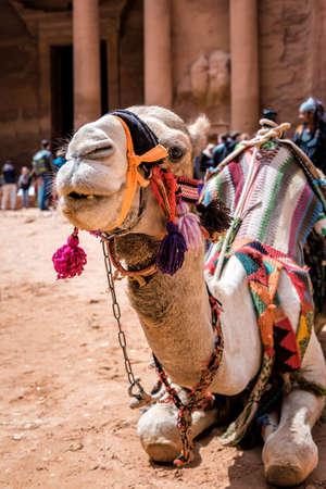 cute camel in ancient Petra city in Jordan
