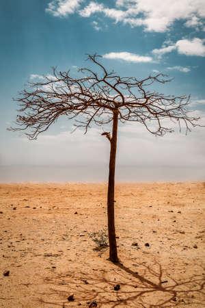 dead bare tree in desert 版權商用圖片