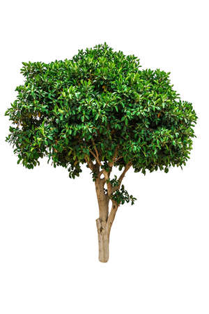 Green ficus elastica tree isolated on white