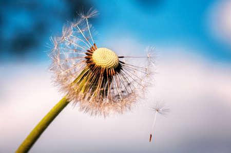 fluffy dandelion flying on the wind