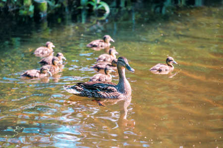 cute family duck with ducklings on the water