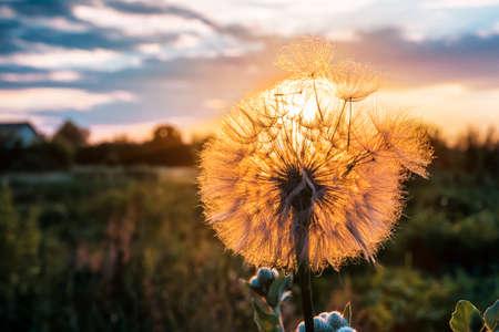 fluffy dandelion on beautiful sunset or sunrise