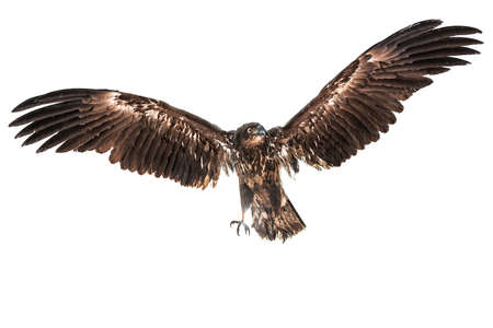 flying predator eagle isolated on white