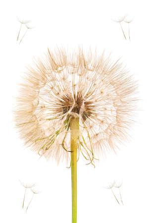 fluffy dandelion isolated on white 版權商用圖片