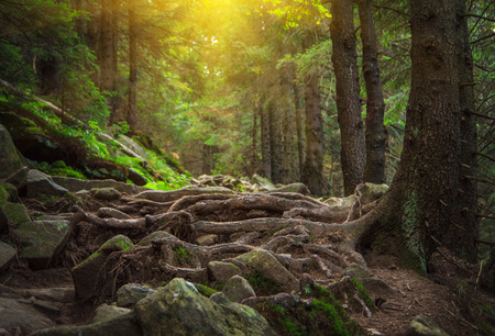 Landscape dense mountain forest and stone path between the roots of trees. Stockfoto